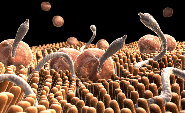 Parasite in Gut